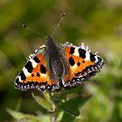 Small Tortoiseshell Butterfly by John Gaffen