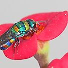 Cuckoo Wasp by Rina Greeff