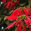 christmas flower 02 by limon