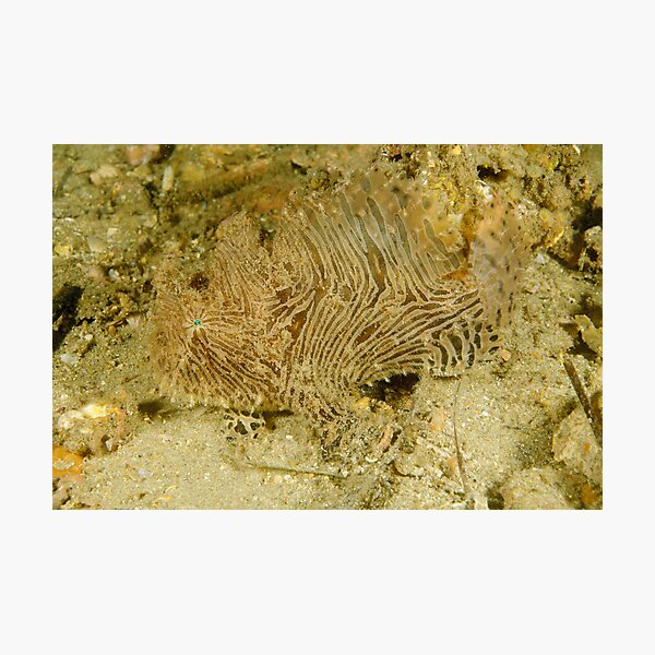 Striped Anglerfish - Sydney, Australia Photographic Print