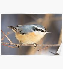 Nuthatch - Ottawa, Ontario, Canada Poster