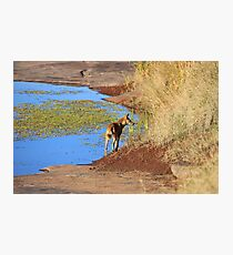 Lone Dingo Photographic Print