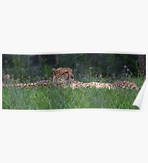 Resting Cheetahs Poster