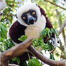 Curious lemur by Fidisoa Rasambainarivo