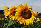 Sunshine Sisters by Nigel Bangert