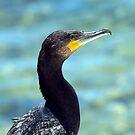 The Great Cormorant Portrait. by Peter Doré