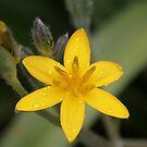 Star Flower by Rina Greeff
