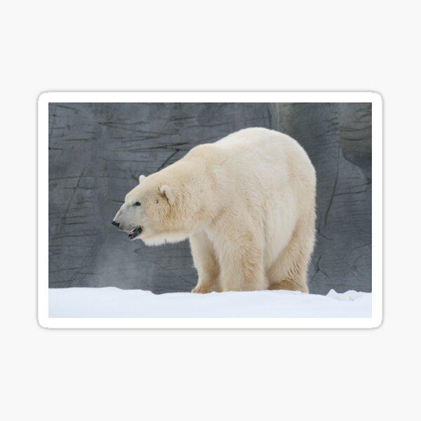 Polo Bear  Sticker