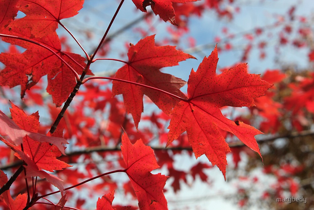 Maple Red 3 by marybedy