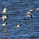 Flight of the Oystercatchers by mikebov