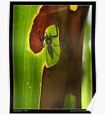 Jumping spider Poster