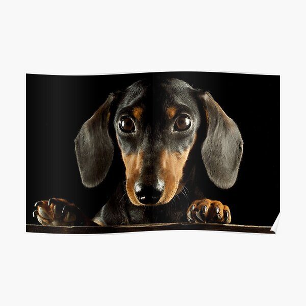 Dachshund Dog photo portrait Poster
