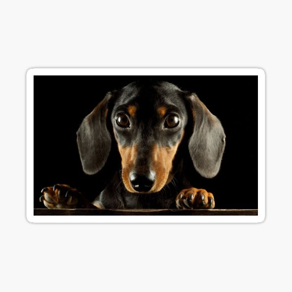 Dackel Hund Foto Porträt Sticker
