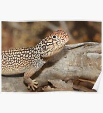 Ctenophorus nuchalis_Owen Springs_NT Poster