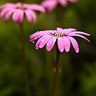 Pink Daisy by liza1880