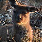 Western grey kangaroo (Macropus fuliginosus) - Kangaroo Island by Dan Monceaux