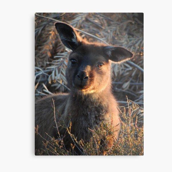 Western grey kangaroo (Macropus fuliginosus) - Kangaroo Island Metal Print