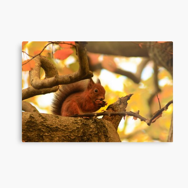Red Squirrel In Autumn Metal Print