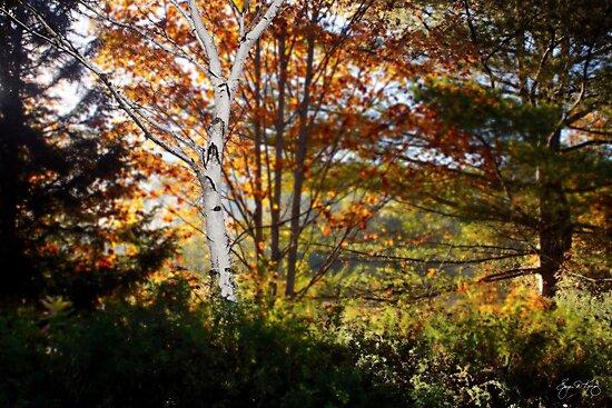 White Birch Morning by Wayne King