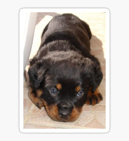 Cute Rottweiler Puppy With Head On Paws Sticker