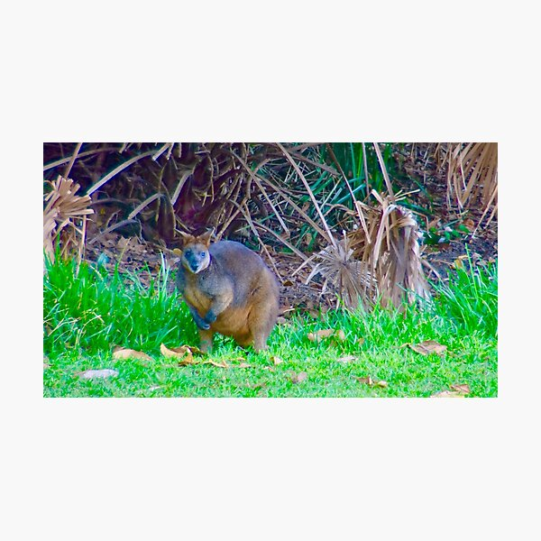 Wallaby in the bush Photographic Print