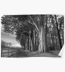Big trees at Plas Newydd Poster