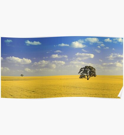 Field of Golden Canola Poster