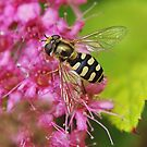 Hoverfly . 5 by relayer51