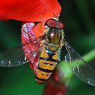 Hoverfly Macro by relayer51