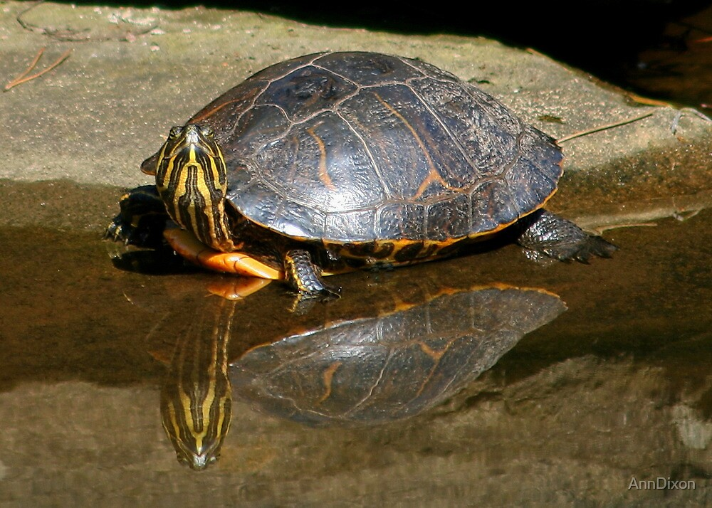 Turtle Reflection by AnnDixon