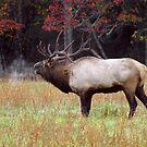 bugling bull elk by J.K. York