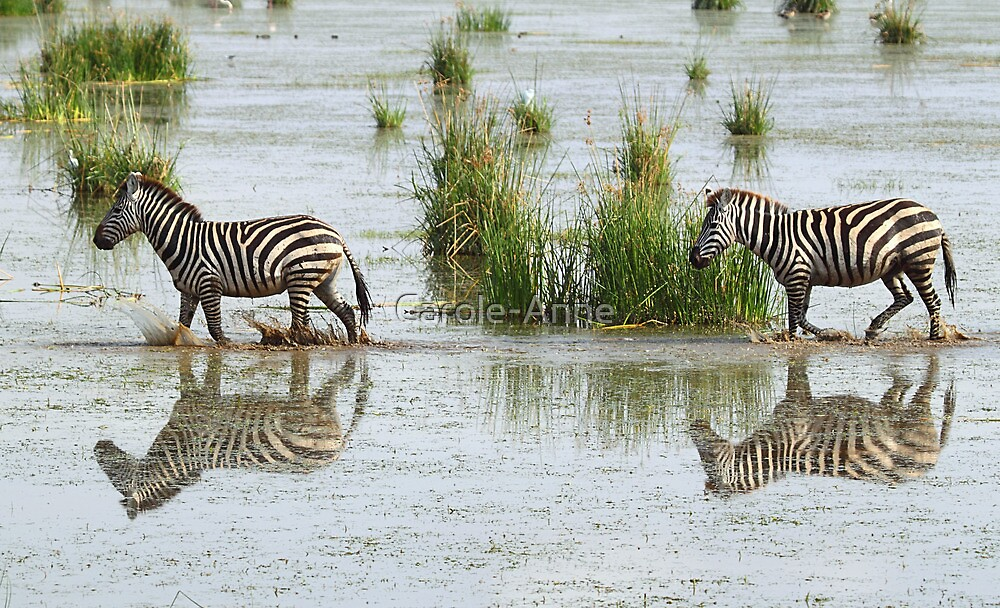 Zebras Cantering Across The Swamp  by Carole-Anne
