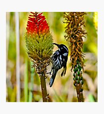 New Holland Honeyeater-I Photographic Print