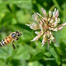 Bee in mid flight by Alison Hill
