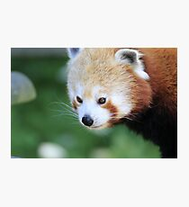 Red Panda Photographic Print