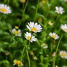 Chrysanthemum Series 3  by Alison Hill