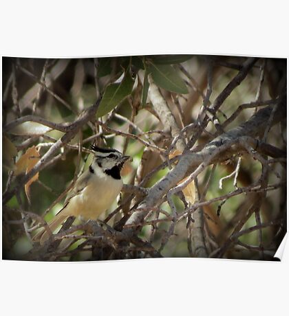 Bridled Titmouse Poster
