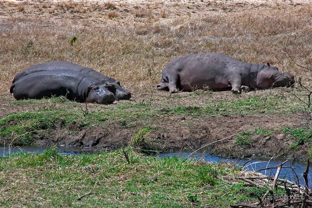 Hip, Hip, Hippos by phil decocco