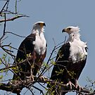 Sea Eagle Pair by Andrew Lawrence