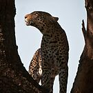 Leopard with Kill by Andrew Lawrence
