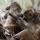 Baboons by Andrew Lawrence