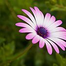 purple daisy by Martin Pot