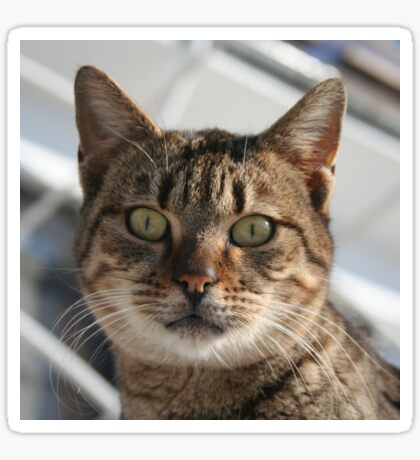 Beautiful Eyed Tabby Cat Sticker