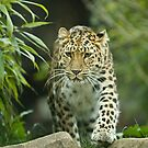 Jaguar by laurav