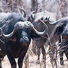 Buffalo by Andrew Lawrence