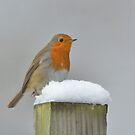 Winter Robin by Kasia Nowak