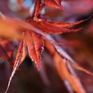Japanese Maple Leaves by kellym