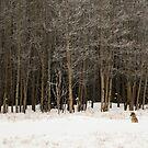 Northern Coyote - Yukon, Canada by Marty Samis