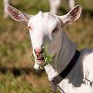 Goat Eye Contact by jayneeldred