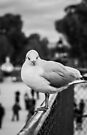 Perched seagull facing the camera in Jardin des Tuileries, Paris by OlivierImages